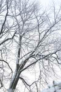 Wintry trees