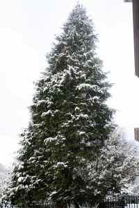 Snowy cedar tree