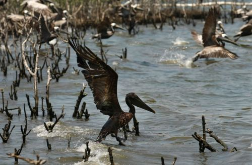 Bird, coated in oil, BP oil spill Gulf of Mexico