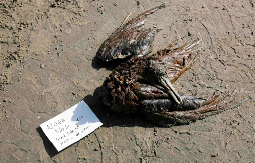 Dead bird, killed by oil spill, Gulf of Mexico