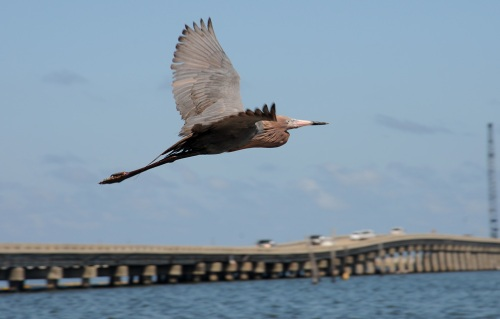 Bird flying, oil on tail feathers, Gulf of Mexico