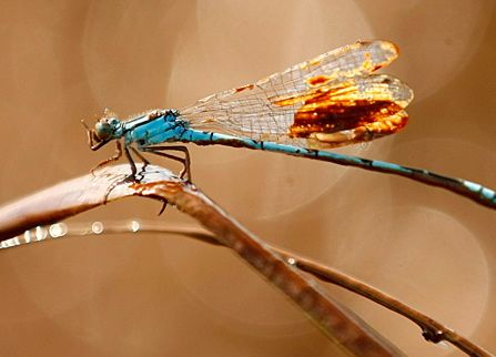 Dragonfly trying to clean itself of oil